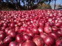 Maharshtra, Gujarat A Grade Red Onion, Packaging Size Available: 10 Kg, Onion Size Available: Large