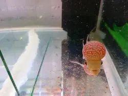 Imported Monster Kok Flowerhorn Fish, Size: 3-5
