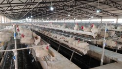 Breeder Poultry cages