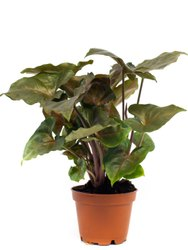 Fast Growth Pink Syngonium