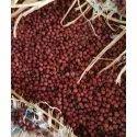Organic Ragi Seed