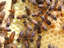 Honey Bee Comb Management Service