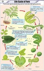 Life Cycle of Fern For Botany Chart