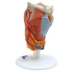 Larynx Model, 2 Part
