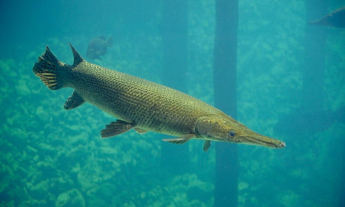 Picture Of A Gar Fish   Alligator Gar Fish The Poultry Pet S World Wholesale Supplier