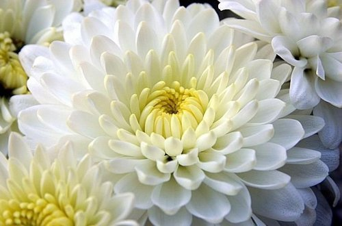 Hybrid Chrysanthemums Flowers Rs 160 Bunch Crazyflora Id