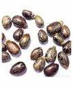Castor Seed - Arandi Beej