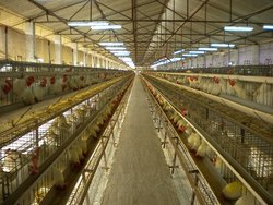 Male And Female Breeder Poultry Cage