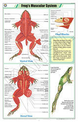 Frog's Muscular System For Zoology Chart