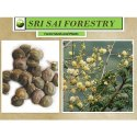 Acacia Leucophloea Seed