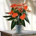 Orange Anthurium Plant