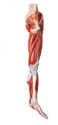 Muscles Of Leg With Main Vessels And Nerves Models