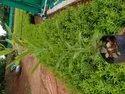 Nursery White Sandalwood Plant