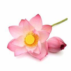 Pink Lotus Absolute Oil nbsp
