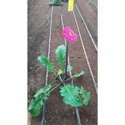 Gerbera Plant for Garden