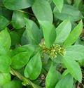 Green Gymnema Leaves, Packaging Type: Bags, Packaging Size: 25 Kgs
