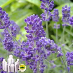 Lavender Co2 Extract Oil