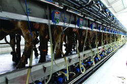 Pipe Line Milking Parlor