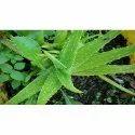 Aloe Vera Medicine Plant