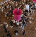 Nattu Kodi Chicks