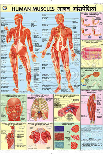 Human Muscles For Human Physiology chart at Rs 140 /piece | Model ...