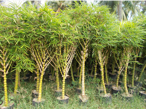 Bamboo Varieties Plant Bamboo Golden Giant Plant Manufacturer