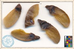 Lagerstroemia Flos Reginae Seeds