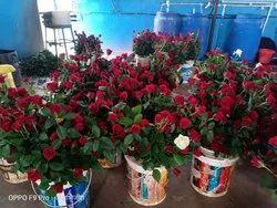 Top Secret Rose