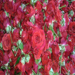 Red Rose - Wholesaler & Wholesale Dealers in India