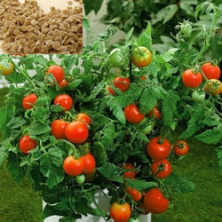 Organic Red Tomatoes Seed