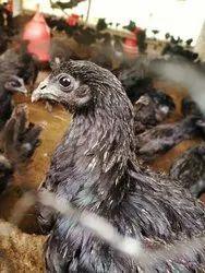 Kadaknath Chicken - Kadaknath Hen Wholesaler & Wholesale