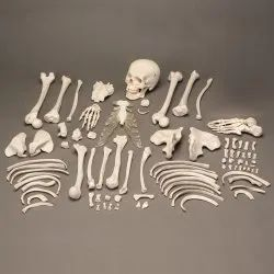 Disarticulated Skeleton Bone Set For Medical Students