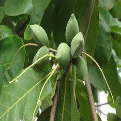 Terminalia Catappa Tree