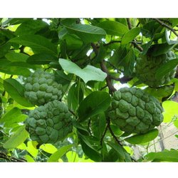 Custard Apple Tree