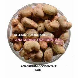 Kaju Seed