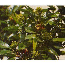 Organic Clove Leaf Oil