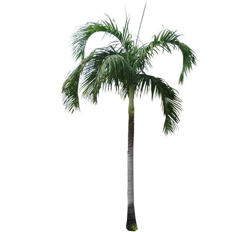 Nursery Plants Palm Trees Manufacturer From Ahmedabad