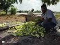 Shruti F-1 Cucumber Seed
