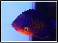 Coral Beauty Angel Fish