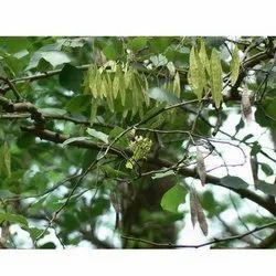Shisham Leaves Powder   - Seasham Leaves - Dalbergia Sissoo Powder