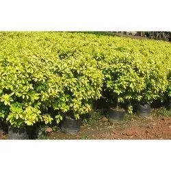 Ficus Yellow, For Outdoor Plant