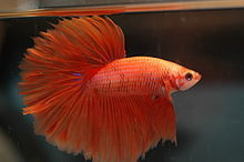 Siamese Betta Fighter Fish