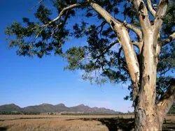Eucalyptus Camaldulensis Plants