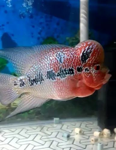 Super Red Dragon Flowerhorn Baby - Flowers Healthy