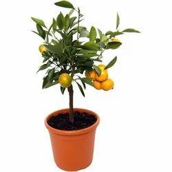 Orange Plants