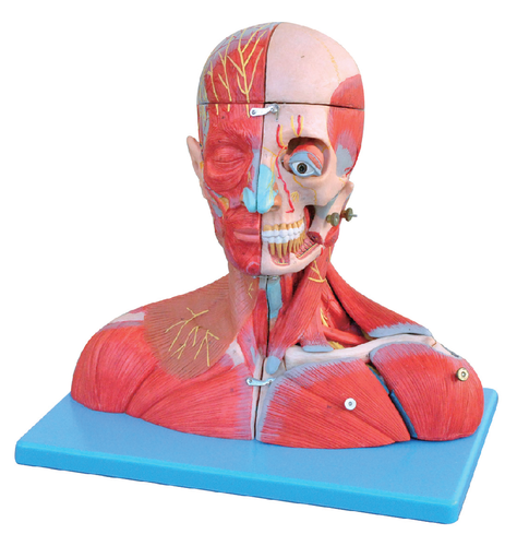 XC PVC Head And Neck With Blood Vessels, Nerves And Brain Models, Rs ...