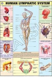 Lymphatic System For Human Physiology Chart