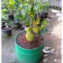 Well Drained Jackfruit Plant