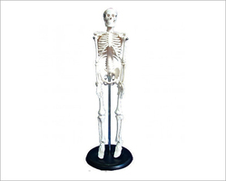 Mini Human Skeleton Models 42 Cms.