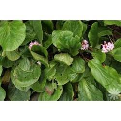 Pashanbhed Bergenia Ligulata Powder